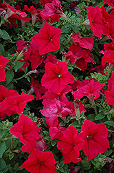 Pretty Grand Red Petunia (Petunia 'Pretty Grand Red') at Westwood Gardens