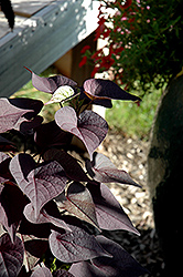 Sidekick™ Black Heart Sweet Potato Vine (Ipomoea batatas 'Sidekick Black Heart') at Westwood Gardens