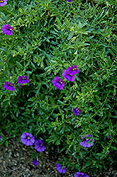 Superbells® Trailing Blue Calibrachoa (Calibrachoa 'Superbells Trailing Blue') at Westwood Gardens