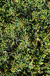 Dwarf Yaupon Holly (Ilex vomitoria 'Nana') at Westwood Gardens