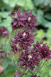 Clementine Dark Purple Columbine (Aquilegia vulgaris 'Clementine Dark Purple') at Westwood Gardens