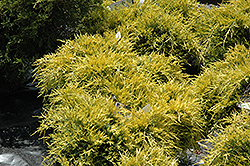 Sea Of Gold Juniper (Juniperus x media 'Sea Of Gold') at Westwood Gardens