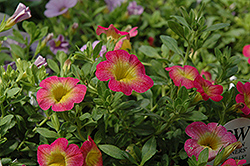 Superbells® Sweet Tart Calibrachoa (Calibrachoa 'Superbells Sweet Tart') at Westwood Gardens