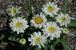 Freak! Shasta Daisy (Leucanthemum x superbum 'Freak!') at Westwood Gardens