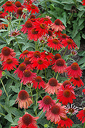 Sombrero® Salsa Red Coneflower (Echinacea 'Balsomsed') at Westwood Gardens