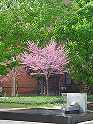Eastern Redbud (tree form) (Cercis canadensis '(tree form)') at Westwood Gardens