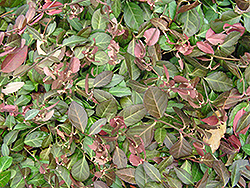 Purpleleaf Wintercreeper (Euonymus fortunei 'Coloratus') at Westwood Gardens