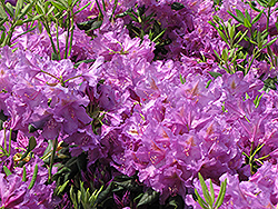 Lee's Dark Purple Rhododendron (Rhododendron catawbiense 'Lee's Dark Purple') at Westwood Gardens