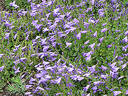 Birch Hybrid Bellflower (Campanula 'Birch Hybrid') at Westwood Gardens