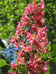 Red Horse Chestnut (Aesculus x carnea) at Westwood Gardens