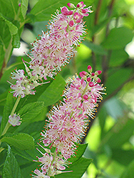Ruby Spice Summersweet (Clethra alnifolia 'Ruby Spice') at Westwood Gardens
