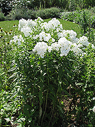 David Garden Phlox (Phlox paniculata 'David') at Westwood Gardens