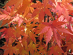 Orange Dream Japanese Maple (Acer palmatum 'Orange Dream') at Westwood Gardens