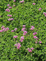 Pink Wood Sorrel (Oxalis crassipes 'Rosea') at Westwood Gardens
