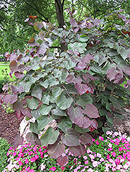 Forest Pansy Redbud (Cercis canadensis 'Forest Pansy') at Westwood Gardens