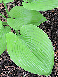 Sum and Substance Hosta (Hosta 'Sum and Substance') at Westwood Gardens