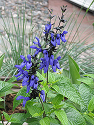 Black And Blue Anise Sage (Salvia guaranitica 'Black And Blue') at Westwood Gardens