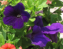 Dreams Midnight Petunia (Petunia 'Dreams Midnight') at Westwood Gardens