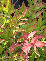 Moon Bay Dwarf Nandina (Nandina domestica 'Moon Bay') at Westwood Gardens