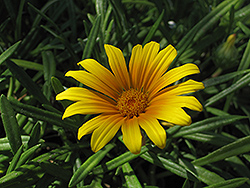 Treasure Flower (Gazania rigens) at Westwood Gardens