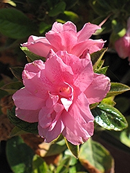 Encore® Autumn Empress™ Azalea (Rhododendron 'Conles') at Westwood Gardens