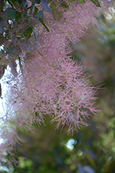 Royal Purple Smokebush (Cotinus coggygria 'Royal Purple') at Westwood Gardens