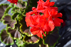 BullsEye™ Red Geranium (Pelargonium 'BullsEye Red') at Westwood Gardens