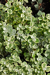 Variegated Licorice Plant (Helichrysum petiolare 'Variegated Licorice') at Westwood Gardens