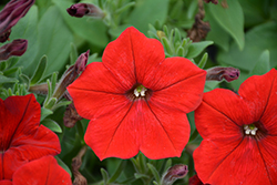 Easy Wave® Red Petunia (Petunia 'Easy Wave Red') at Westwood Gardens