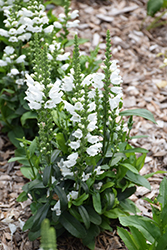 Crystal Peak White Obedient Plant (Physostegia virginiana 'Crystal Peak White') at Westwood Gardens