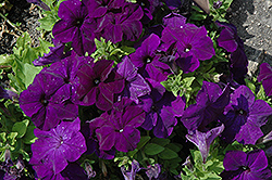 Pretty Grand Midnight Petunia (Petunia 'Pretty Grand Midnight') at Westwood Gardens