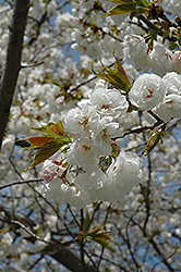 Mt. Fuji Flowering Cherry (Prunus serrulata 'Shirotae') at Westwood Gardens