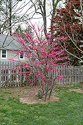 Appalachian Red Redbud (Cercis canadensis 'Appalachian Red') at Westwood Gardens