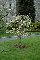 Appalachian Spring Flowering Dogwood (Cornus florida 'Appalachian Spring') at Westwood Gardens