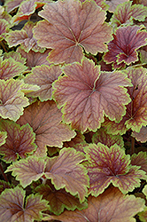 Delta Dawn Coral Bells (Heuchera 'Delta Dawn') at Westwood Gardens