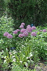 Globemaster Ornamental Onion (Allium 'Globemaster') at Westwood Gardens