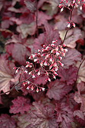Berry Smoothie Coral Bells (Heuchera 'Berry Smoothie') at Westwood Gardens