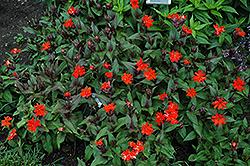 Orange Gnome Campion (Lychnis x arkwrightii 'Orange Gnome') at Westwood Gardens