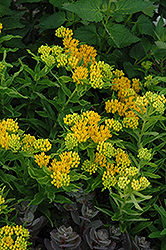 Hello Yellow Milkweed (Asclepias tuberosa 'Hello Yellow') at Westwood Gardens
