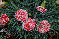Coral Reef Pinks (Dianthus 'WP07OLDRICE') at Westwood Gardens