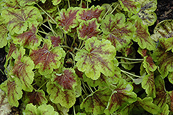 Solar Eclipse Foamy Bells (Heucherella 'Solar Eclipse') at Westwood Gardens