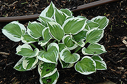 Diamonds Are Forever Hosta (Hosta 'Diamonds Are Forever') at Westwood Gardens