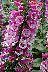 Dalmatian Purple Foxglove (Digitalis purpurea 'Dalmatian Purple') at Westwood Gardens