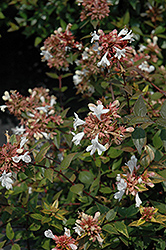 Little Richard Glossy Abelia (Abelia x grandiflora 'Little Richard') at Westwood Gardens