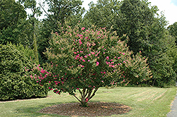 Tonto Crapemyrtle (Lagerstroemia 'Tonto') at Westwood Gardens