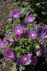 Peachie's Pick Aster (Stokesia laevis 'Peachie's Pick') at Westwood Gardens