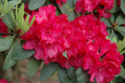Trilby Rhododendron (Rhododendron 'Trilby') at Westwood Gardens