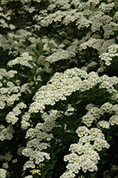 Snowmound Spirea (Spiraea nipponica 'Snowmound') at Westwood Gardens