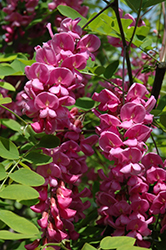 Purple Robe Locust (Robinia pseudoacacia 'Purple Robe') at Westwood Gardens
