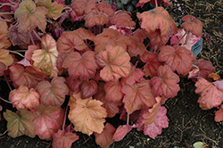 Southern Comfort Coral Bells (Heuchera 'Southern Comfort') at Westwood Gardens